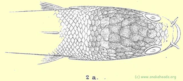 Head shields drawing of O. africana by Steindachner