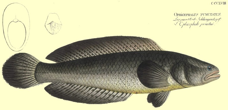 C. punctatus by Bloch