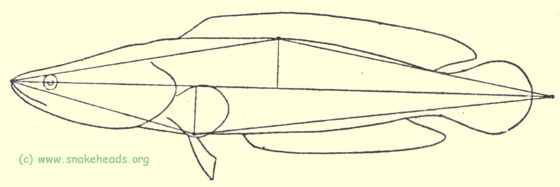 C. argus schematic drawing