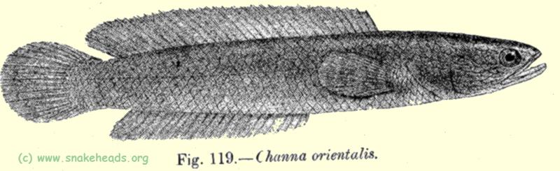 Drawing of C. orientalis, fig. 119 of Fauna of British India