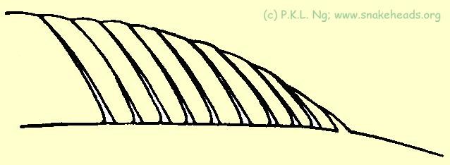 Fig. 5g: Dorsal fins gradually sloping