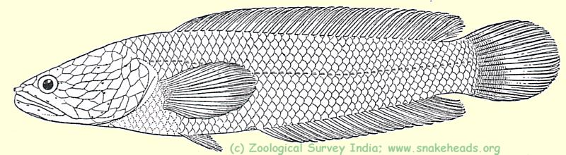 drawing of O. harcourt-butleri