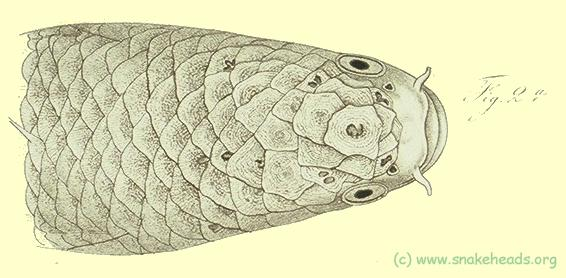 Head of c. melanoptera, drawing of Bleeker's atlas, table 398, fig. 2a