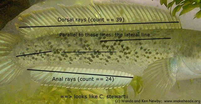 C. stewartii with hints for anal and dorsal ray counts