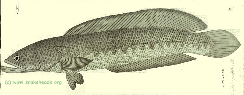 C. punctata by P. Russel, side view