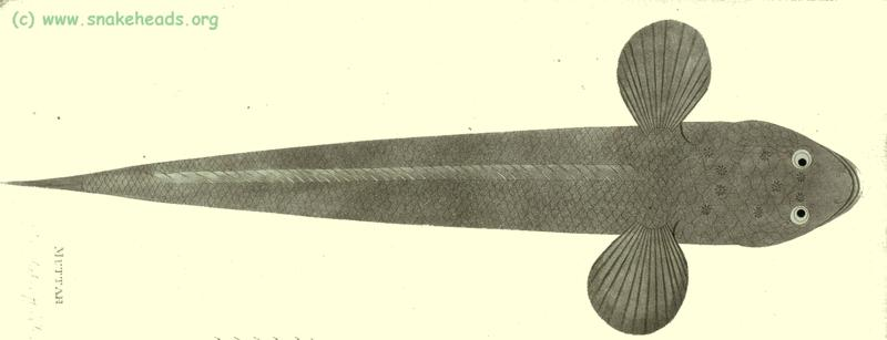 C. striata by P. Russel, top view